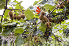Planta del kiwi: descubre de dónde procede esta deliciosa y nutritiva fruta